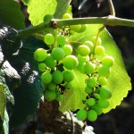 Grapes in the vineyard of Ecoposada | Alaskafoto - Best Alaska photography & portrait photographers Alaska